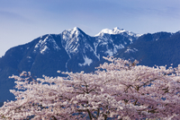 Cherry Tree in Bloom, Stanley Park, Vancouver, British Columbia, Canada