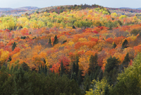 Overview of Forest in Autumn, Madawaska Valley, near Palmer's Rapids, Ontario, Canada