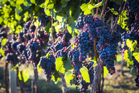 Close-Up of Grapes on Grapevines in Vineyard, Kelowna, Okanagan Valley, British Columbia, Canada 20025313631| 写真素材・ストックフォト・画像・イラスト素材|アマナイメージズ