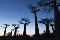 Avenue of the Baobabs near Morondava, Menabe, Madagascar