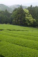 Rows of green tea bushes growing on the Makinohara tea plantations in Shizuoka, Japan 20025314370| 写真素材・ストックフォト・画像・イラスト素材|アマナイメージズ