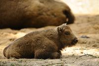 European bison (Bison bonasus) calf lying in sand, Zoo
