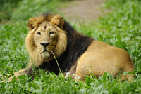 Asiatic lion or Indian lion (Panthera leo persica) male in a Zoo