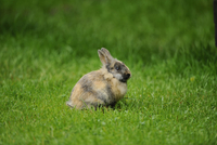 Domestic rabbit (Oryctolagus cuniculus forma domestica) in a meadow, Bavaria, Germany