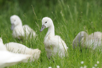 Mute Swan (Cygnus olor) cygnet chicks in a meadow, Bavaria, Germany