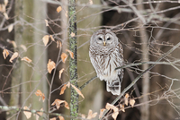 Barred Owl in winter, perched on branch, near Madoc Ontario Canada
