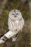 Barred owl, perched on tree branch in winter, near Madoc Ontario Canada