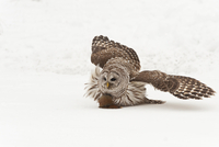 Barred owl capturing red squirrel in winter near Madoc Ontario Canada