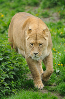 Asiatic lion or Indian lion (Panthera leo persica) female in a Zoo