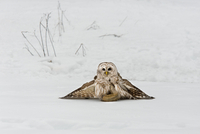 """Barred Owl """"mantling"""" its prey, a red squirrel caught in winter, near Madoc Ontario Canada"""