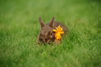 Netherland Dwarf young rabbit on a meadow, Bavaria, Germany
