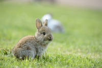 Young Domestic rabbit (Oryctolagus cuniculus forma domestica) sitting on a meadow, Bavaria, Germany