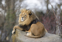 Lion (Panthera leo) male lying on boulder outdoors in a Zoo, Germany