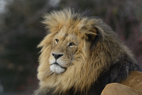Portrait of a Male Lion (Panthera leo) outdoors in a Zoo, Germany