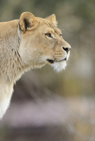 Portrait of a female Lion (Panthera leo) outdoors in a Zoo, Germany