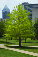 A bright green tree in the yard of the Capitol Building in Austin Texas.
