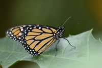 Close-up of a Monarch butterfly (Danaus plexippus) sitting on a leaf