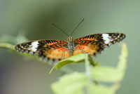 Close-up of a Red Lacewing (Cethosia biblis) sitting on a leaf