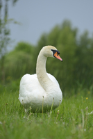 Close-up of a Mute Swan (Cygnus olor) in a meadow in spring, Upper Palatinate, Bavaria, Germany