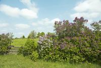 Lilac Bushes in Spring, near Tweed, Ontario, Canada
