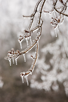 Close-up of birch tree branch after spring ice storm, buds encased in ice, near Madoc, Ontario, Canada