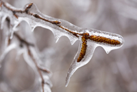 Birch tree buds encased in ice following spring ice storm, near Madoc, Ontario, Canada