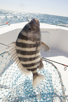 sheepshead fish caught by fisherman in georgia