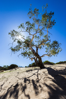 Tree Backlit by Sun, The Loop, Kalbarri National Park, Western Australia, Australia