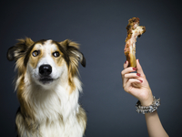Shot of a mixed breed collie looking at a woman's hand holding up a bone shot against a grey background.
