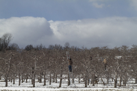 Workers Clipping Fruit Tree Branches in Orchard in Winter, New York State, USA