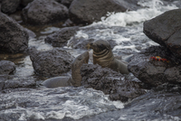 Two sea lions and crab in rocky ocean near shore in Galapagos Islands