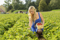 Young woman in a strawberryfield with a basket full of strawberries, Bavaria, Germany