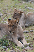 Young Lions (Panthera leo), Namibia, Africa