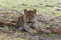 Young Lion (Panthera leo), Namibia, Africa
