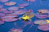Bull Frog on Lily Pads in Spring, Algonquin Provincial Park, Ontario, Canada