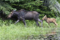Cow Moose and Calf in Spring, Algonquin Provincial Park, Ontario, Canada