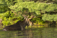 Bull Moose Leaving Water, Eating Waterlilies in Spring, Hailstorm Creek, Algonquin Provincial Park, Ontario, Canada