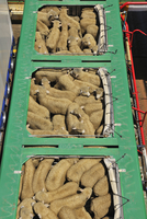 Overhead View of Sheep in Transport Truck, Picton, Marlborough, South Island, New Zealand