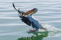 White pelican (Pelecanus onocrotalus), Walvis Bay, Erongo Region, Namibia, Africa