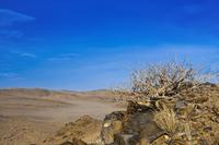Twiggy commiphora or Slender corkwood (Commiphora virgata), produce non-allergenic resin,  Damaraland, Kunene Region, Namibia, A