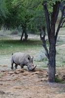 White rhinoceros (rhino), Ceratotherium simum, Namibia, Africa
