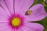 Close-up of Forest Bug (Pentatoma rufipes) on Blossom of Garden Cosmos (Cosmos bipinnatus), Bavaria, Germany