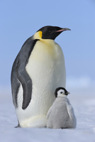 Adult Emperor Penguin (Aptenodytes forsteri) with Chick, Snow Hill Island, Antarctic Peninsula, Antarctica