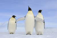 Three Adult Emperor Penguins (Aptenodytes forsteri), Snow Hill Island, Antarctic Peninsula, Antarctica