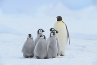 Adult Emperor Penguin (Aptenodytes forsteri) with Chicks, Snow Hill Island, Antarctic Peninsula, Antarctica
