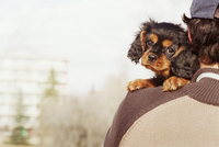 King charles Spaniel Puppy Looking Over Man's Shoulder