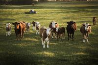 Cattle in Field at Sunset, Alberta, Canada