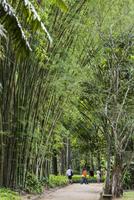 Bamboo Grove in Botanical Garden (Jardim Botanico), Rio de Janeiro, Brazil