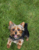 Portrait of Yorkshire terrier on grass, jumping up on hind legs, looking at camera, USA