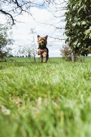 Yorkshire terrier playing with ball in mouth, running on grass, USA